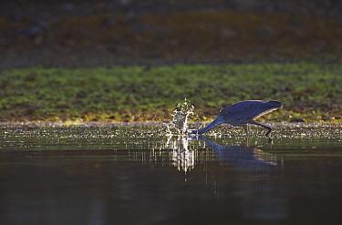 Great Blue Heron (Ardea herodias) fishing by quickly darting its head into water Barkley Sound, Vancouver Island, Canada, August  -  Matthew Maran/ npl