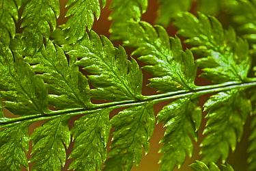 Detail of a Lady Fern (Athyrium filix-femina) frond West coast of Vancouver Island, Canada, March  -  Matthew Maran/ npl