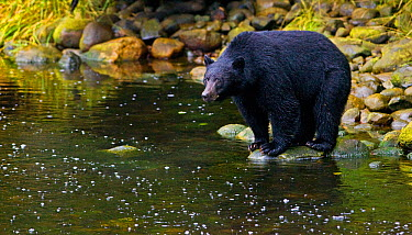 Black Bear (Ursus americanus) hunting for salmon from a river bank Ucluth Inlet, Barkley Sound, Vancouver Island, Canada, September  -  Matthew Maran/ npl