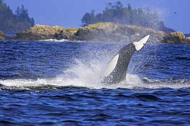 Transient Killer Whale, Orca (Orcinus orca) hunting sea lions Barkley Sound, Vancouver Island, Canada, September  -  Matthew Maran/ npl