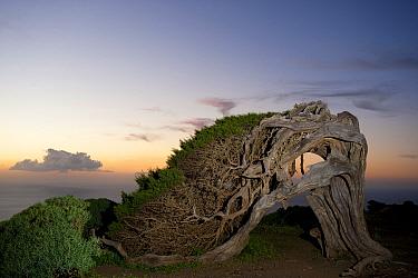 Thousand-year-old Sabina, Canary Juniper, (Juniperus turbinata canariensis) against a dusky sky El Sabinar, El Hierro Island, Canary Islands,, February 2011  -  Inaki Relanzon/ npl