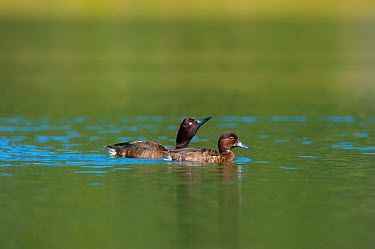 Two Madagascar Pochard (Aythya innotata) on water One of the most endangered ducks in the world, rediscovered in 2008 Bemanevika protected area, north Madagascar, Africa  -  Inaki Relanzon/ npl