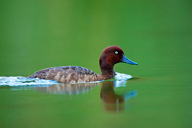 Madagascar Pochard (Aythya innotata) on water One of the most endangered ducks in the world, rediscovered in 2008 Bemanevika protected area, north Madagascar, Africa  -  Inaki Relanzon/ npl
