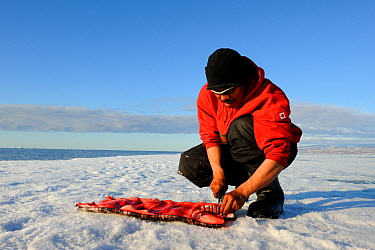 Inuit man cutting a piece of Narwhal (Monodon monoceros) skin and fat (muktuk), traditional food in Inuit culture Floe edge, Arctic Bay, Nunavut, Canada, June  -  Eric Baccega/ npl