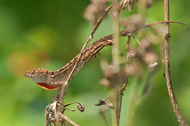 Brown Anole Lizard (Anolis sagrei), an introduced species, sitting on a dead plant flashing its dew lap in a territorial display South Padre Island, Cameron County, Texas, USA, April  -  David Welling/ npl
