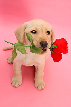 Yellow Labrador Retriever bitch puppy, 10 weeks, holding a red rose and looking up  -  Mark Taylor/ npl