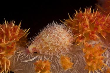 Allied cowrie (Diminovula stigma) on a soft coral, Indo-pacific  -  Jurgen Freund/ npl