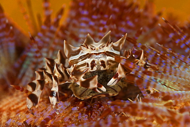Zebra, Adam's urchin crab with eggs (Zebrida adamsii) on Fire sea urchin (Mespilia globulus), Komodo NP, Indonesia, Indo-pacific  -  Jurgen Freund/ npl