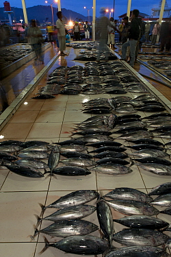 Skipjack tuna laid out at early morning fish auction market, Bitung, Sulawesi, Indonesia, October 2009  -  Jurgen Freund/ npl