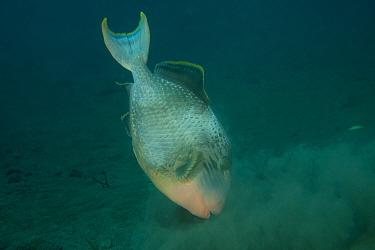 Yellowmargin triggerfish (Pseudobalistes flavimarginatus) hunting for prey on seabed, Bali, Indonesia  -  Jurgen Freund/ npl