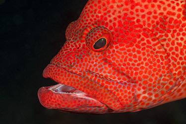 Tomato grouper (Cephalopholis sonnerati) portrait, Bali, Indonesia  -  Jurgen Freund/ npl