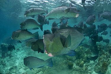 Schooling Bumphead parrotfish (Bolbometopon muricatum) Sipadan, Malaysia  -  Jurgen Freund/ npl