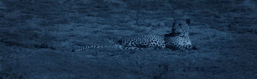 Leopard (Panthera pardus) resting at night Yala National Park, Sri Lanka Image taken with 'starlight camera' using no artificial light, on location for National Geographic Nightstalkers film *THIS IMA...  -  Martin Dohrn/ npl