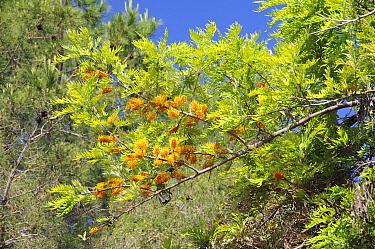 Silver Oak, Silky Oak tree (Grevillea robusta) with orange bottlebrush flowers Introduced from Australia Campomoro, Corsica, France, June  -  Nick Upton/ npl