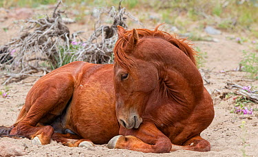 This wild red stallion (Equus caballus) is taking a break and decided to lie down for a while Reno, Nevada, USA, May  -  Diane Mcallister/ npl