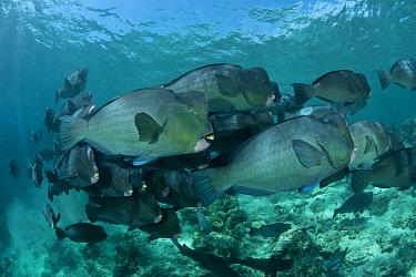 Shoal of schooling Bumphead parrotfish (Bolbometopon muricatum) Sipadan Island, Malaysia  -  Jurgen Freund/ npl