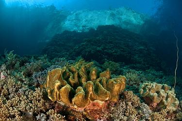 Leather coral (Lobophytum sp) on coral reef, Komodo NP, Indonesia  -  Jurgen Freund/ npl