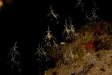 Cleaner shrimps (Urocaridella sp) Bali, Indonesia  -  Jurgen Freund/ npl