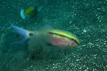 Dashdot goatfish (Parupeneus barberinus) feeding on sandy seabed, Bali, Indonesia  -  Jurgen Freund/ npl