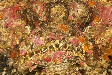 Portrait of Stonefish (Synanceia horrida) Moluccas Islands, Indonesia  -  Jurgen Freund/ npl