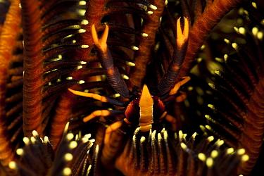 Crinoid squat lobster (Allogalathea elegans) camouflaged amongst featherstar, West New Britain, Papua New Guinea  -  Jurgen Freund/ npl