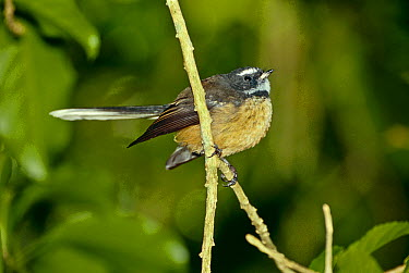 North Island Fantail (Rhipidura fuliginosa placabilis) perched on branch, Tiritiri Island, North Island, New Zealand, March  -  Rod Williams/ npl