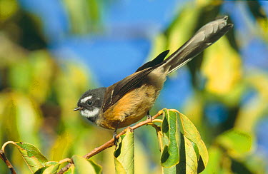 North Island Fantail (Rhipidura fuliginosa placabilis), male perched, Albany, North Island, New Zealand  -  Rod Williams/ npl