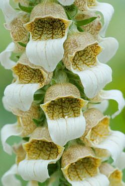Woolly, Grecian foxglove (Digitalis lanata) flowers, Europe  -  Steve Nicholls/ npl
