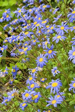 Kingfisher daisy flowers (Felicia aethiopica) South Africa  -  Steve Nicholls/ npl