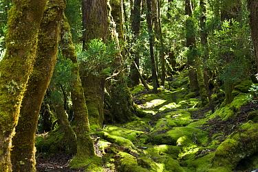 Southern beech forest (Nothofagus cunninghamii) Cradle mountain, Tasmania, Australia, February 2007  -  Steve Nicholls/ npl