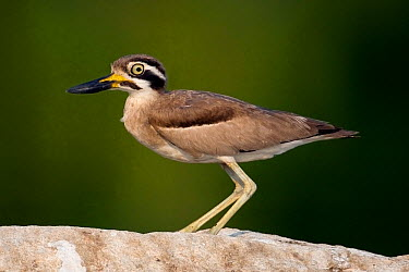 Great Thick-knee, Great Stone Plover (Esacus, Burhinus recurvirostris) in profile Karnataka, India  -  Axel Gomille/ npl