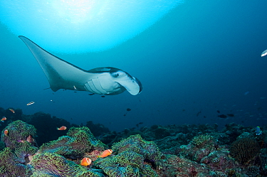 Reef manta ray (Manta birostris, alfredi) with gills puffed out for cleaning initial phase by Two-tone wrasses (Thalassoma amblycephalum) and other wrasses, with Giant anemone (Heteractis magnifica) a...  -  Doug Perrine/ npl