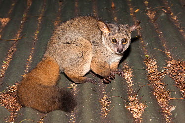 Thicktailed greater bushbaby, Greater galago (Otolemur, Galago crassicaudatus) resting on roof, night, Mlilwane nature reserve, Swaziland, March  -  Ann & Steve Toon/ npl