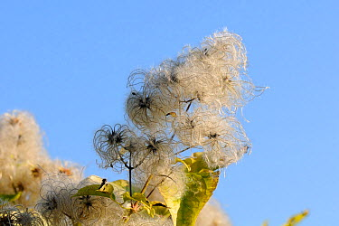 Old man's beard, the seedheads of Wild Clematis (Clematis vitalba) in an autumn hedgerow Wiltshire, UK, October  -  Nick Upton/ npl