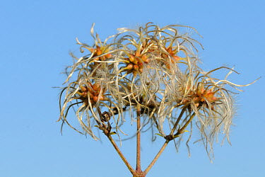 Old man's beard, the seedheads of Wild Clematis (Clematis vitalba) close up view against blue sky Wiltshire, UK, October  -  Nick Upton/ npl