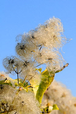 Old man's beard, the seedheads of Wild Clematis (Clematis vitalba) against blue sky Wiltshire, UK, October  -  Nick Upton/ npl
