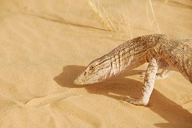 Desert Monitor (Varanus griseus) appearing to examine the sand Termit Massif, Niger, Africa  -  Thomas Rabeil/ npl