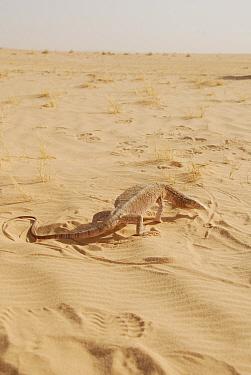 Desert Monitor (Varanus griseus) in its sandy habitat Termit Massif, Niger, Africa  -  Thomas Rabeil/ npl