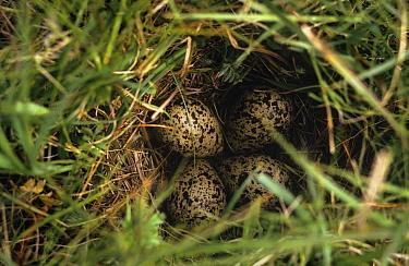 Redshank (Tringa totanus) ground nest with eggs on Machair, South Uist, Hebrides, Scotland  -  Martin H Smith/ npl