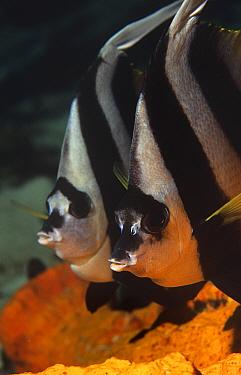 Two Longfin bannerfish (Heniochus acuminatus) portraits, Walindi, Papua New Guinea  -  Brent Hedges/ npl