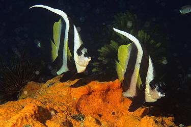 Longfin bannerfish (Heniochus acuminatus) on coral reef, Walindi, Papua New Guinea  -  Brent Hedges/ npl