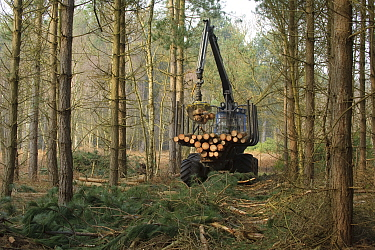 Forestry workers with 'forwarder' machine, removing felled timber from Dunwich Forest, Suffolk, UK, February 2011 Non-native Corsican pine trees planted in 1990 are gradually being removed by the Fore...  -  Chris Gomersall/ 2020V/ npl