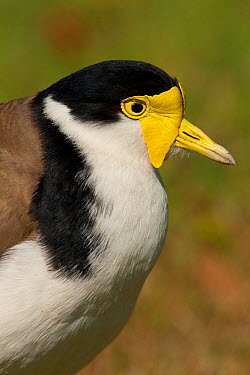 Masked Lapwing, Plover (Vanellus miles), adult close-up showing its yellow facial wattles Sydney, Australia, September  -  Marie Read/ npl