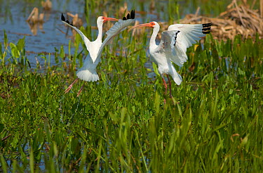 Two White Ibis (Eudocimus albus) during a midair fight over a feeding spot in a Florida wetland, USA, March  -  Marie Read/ npl