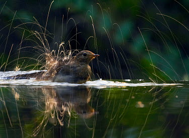 Robin (Erithacus rubecula) bathing in water with droplets making trails against sunlight Hungary, July Magic Moments book plate, page 39  -  Markus Varesvuo/ npl