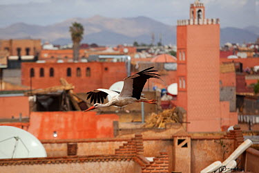 White Stork (Ciconia ciconia) in flight over city buildings Marakesh, Moorocco, March  -  Ernie Janes/ npl