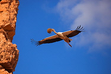 White Stork (Ciconia ciconia) in flight with nesting material Marakesh, Morocco, March  -  Ernie Janes/ npl