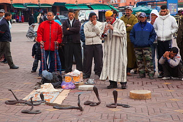 Snake charmer entertaining a small crowd Marakesh, Morocco, March  -  Ernie Janes/ npl