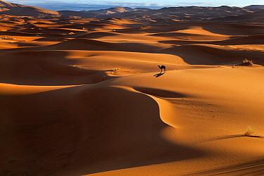 Dromedary Camel (Camelus dromedarius) on Erg Chebbi Dunes Sahara Desert, Morocco, North Africa, March 2011  -  Ernie Janes/ npl