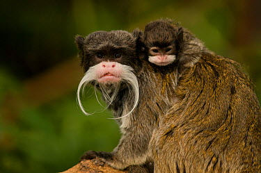 Portrait of an Emperor Tamarin (Saguinus imperator) mother with baby Captive Endemic to Peru  -  Mark Bowler/ npl